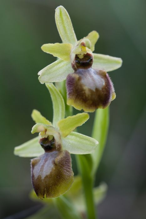 Ophrys bombyliflora à Gruissan [10 04 12] Img_4913