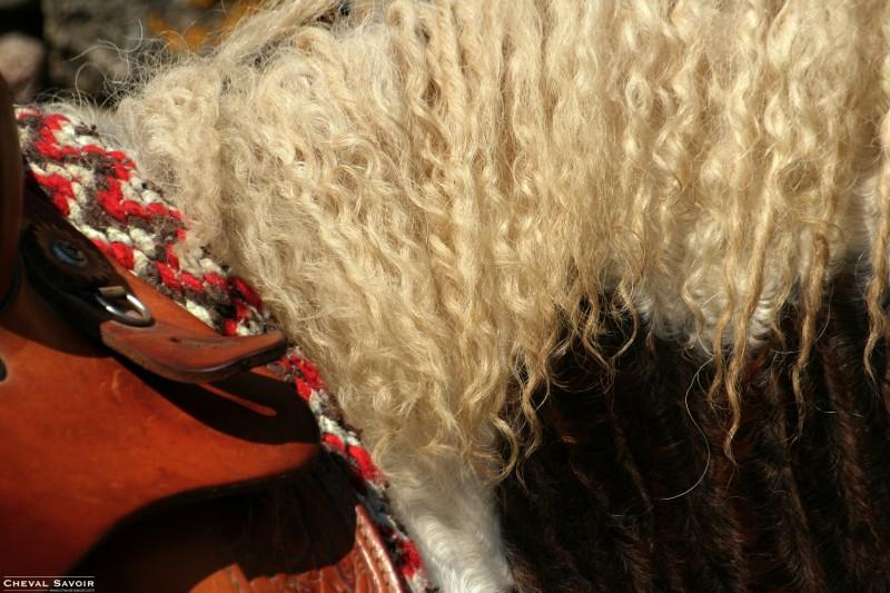La race Curly Cheval10