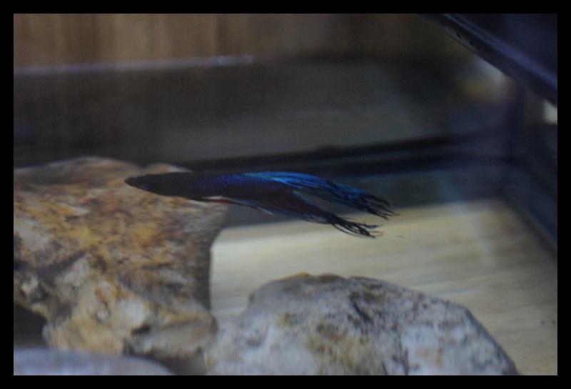Ganapati et pourriture des nageoires ou Oodinium...[Au paradis des poissons depuis le 26.11.11] 25_11_13