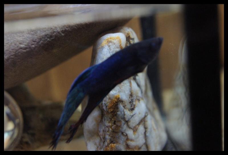 Ganapati et pourriture des nageoires ou Oodinium...[Au paradis des poissons depuis le 26.11.11] Gana2613