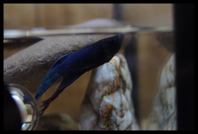 Ganapati et pourriture des nageoires ou Oodinium...[Au paradis des poissons depuis le 26.11.11] Gana2614