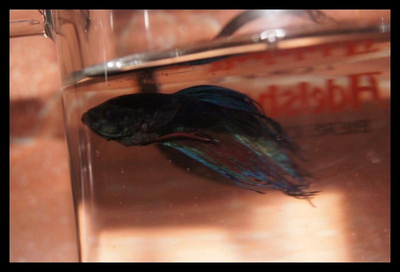 Ganapati et pourriture des nageoires ou Oodinium...[Au paradis des poissons depuis le 26.11.11] Ganama10