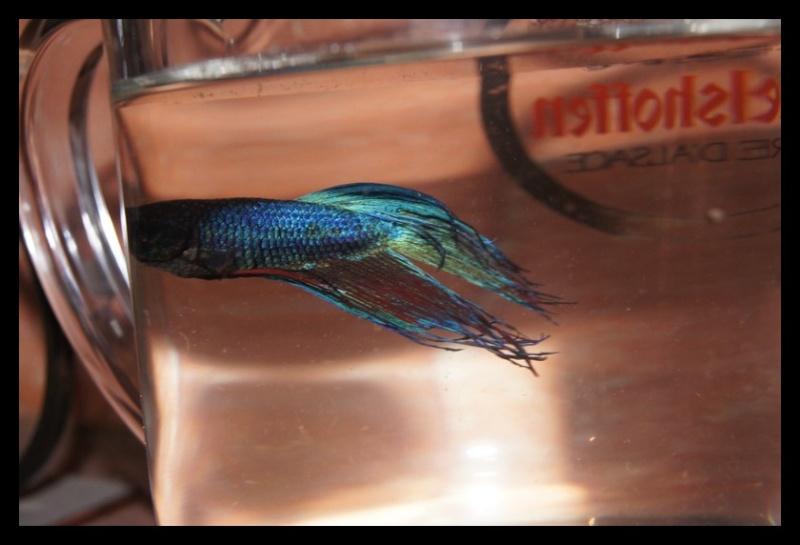 Ganapati et pourriture des nageoires ou Oodinium...[Au paradis des poissons depuis le 26.11.11] Ganama11