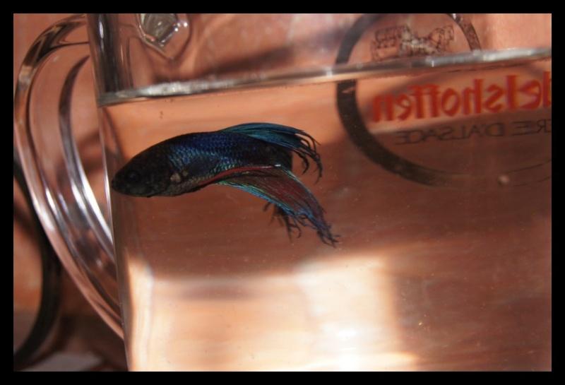 Ganapati et pourriture des nageoires ou Oodinium...[Au paradis des poissons depuis le 26.11.11] Ganama12