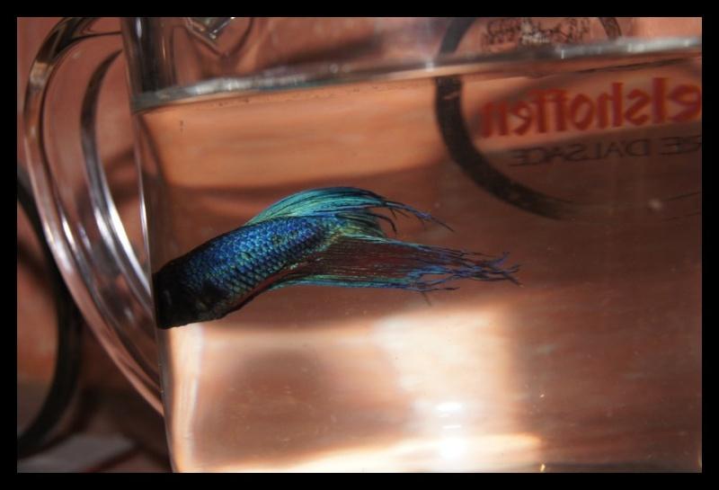 Ganapati et pourriture des nageoires ou Oodinium...[Au paradis des poissons depuis le 26.11.11] Ganama13