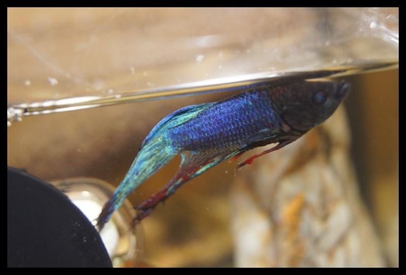 Ganapati et pourriture des nageoires ou Oodinium...[Au paradis des poissons depuis le 26.11.11] - Page 3 Laghu_36