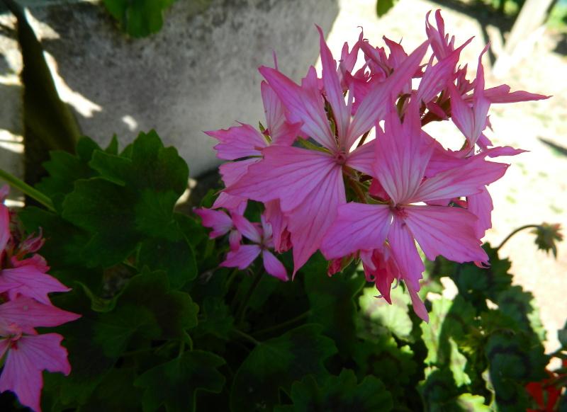 Mes Satsuki- Mes Fleurs - Page 16 Ger2-110