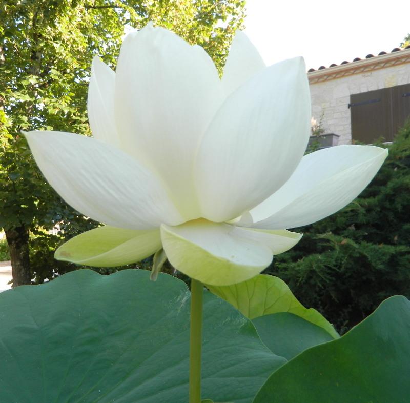 LES PLANTES deJacques16 Lotus211