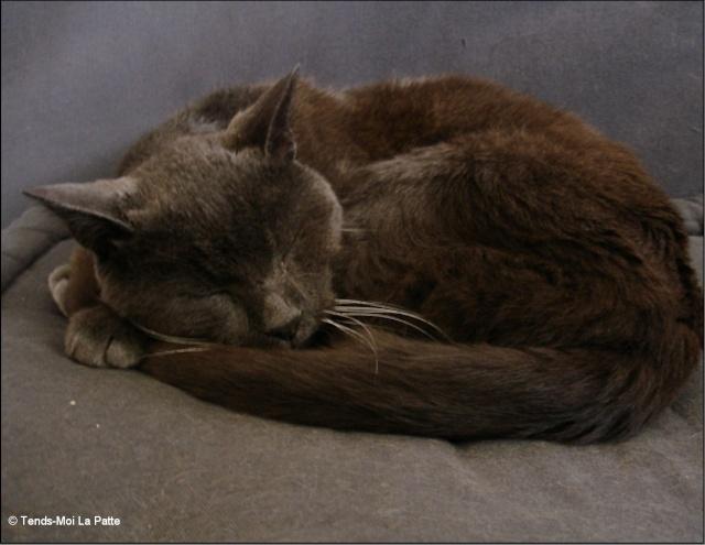 GRIBOUILLE mâle gris de 8 ans  Chat_a12