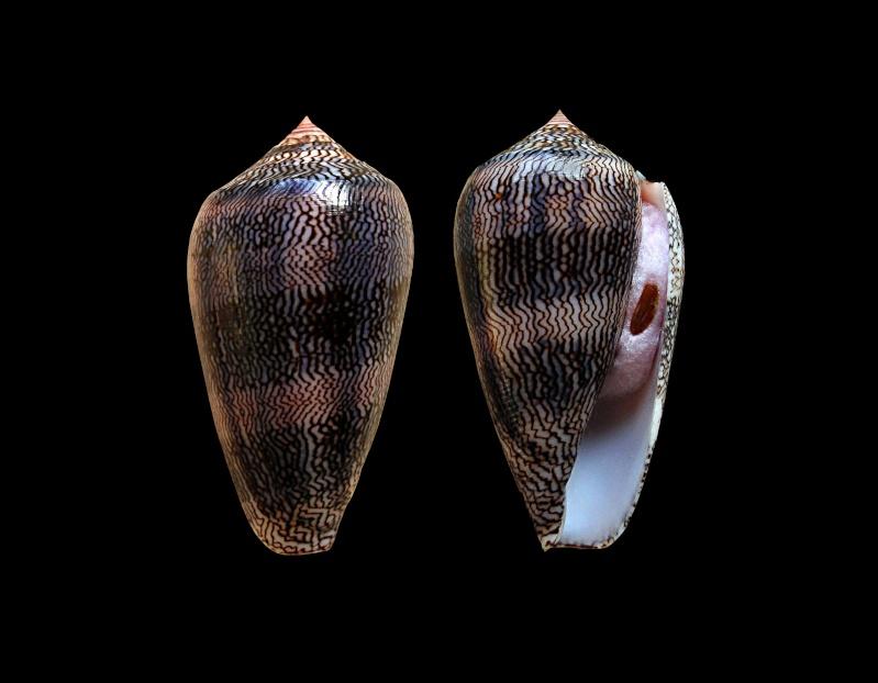Conus (Cylinder) textile cholmondeleyi  Melvill, 1900 voir Conus (Cylinder) textile Linnaeus, 1758 Conus_37