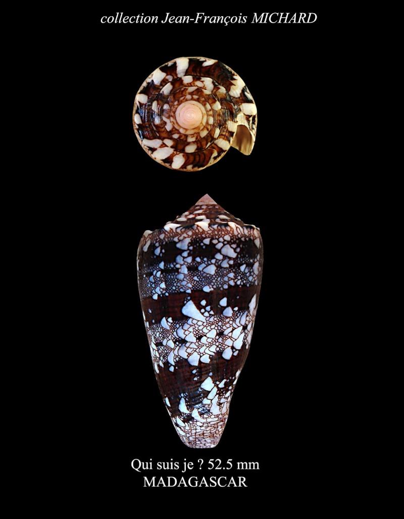 Conus (Cylinder) pseudocedonulli   Blainville, 1818 Conus_41