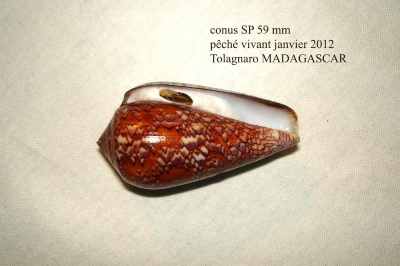Conus (Darioconus) pennaceus   Born, 1778 Conus_44