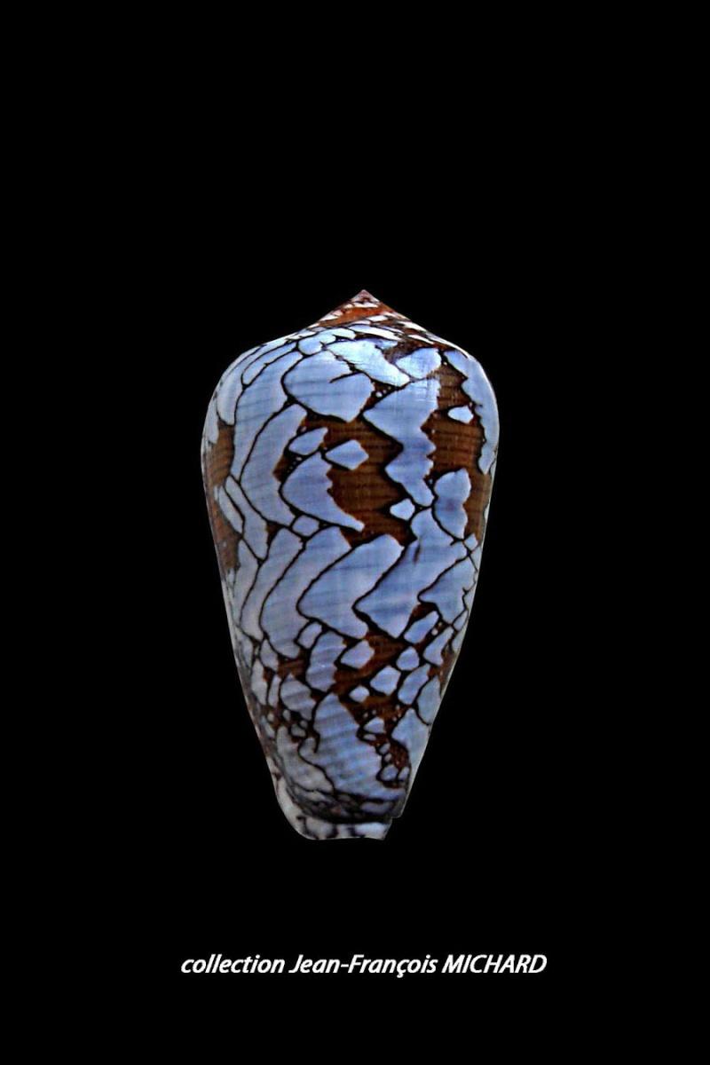 Conus (Darioconus) behelokensis   Lauer, 1989 Conus_49