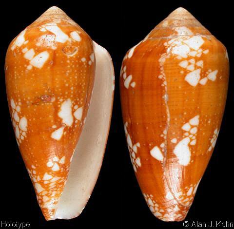 Conus (Darioconus) pennaceus racemosus  G.B. Sowerby II, 1874 voir Conus (Darioconus) leviteni (Tucker, Tenorio & Chaney, 2011) Conus_63