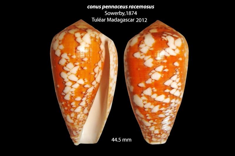 Conus (Darioconus) pennaceus racemosus  G.B. Sowerby II, 1874 voir Conus (Darioconus) leviteni (Tucker, Tenorio & Chaney, 2011) Conus_64