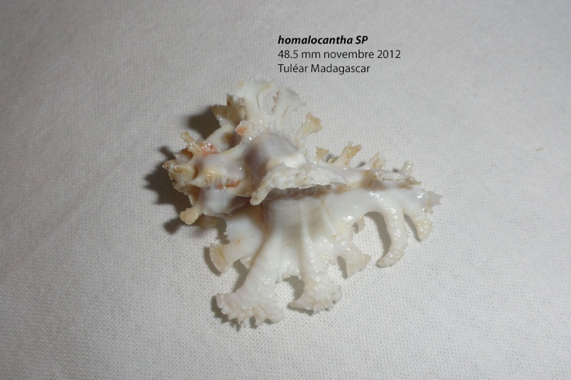 Homalocantha anatomica - (Perry, 1811) Homalo13