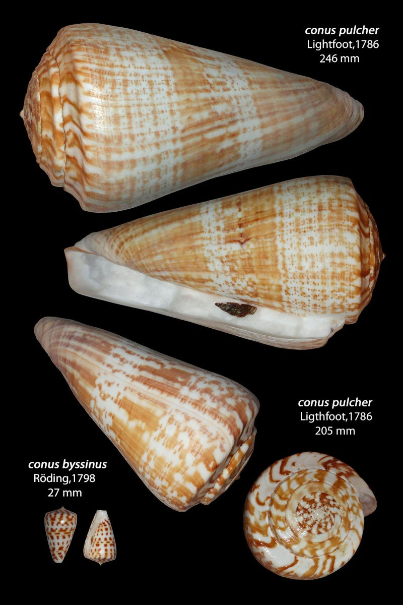 Conus (Kalloconus) pulcher  [Lightfoot], 1786 - Page 2 Pulche11