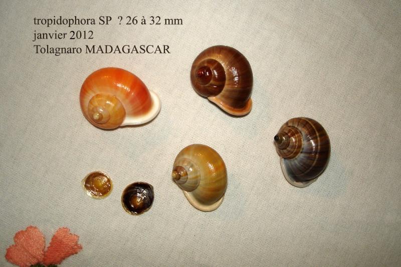 Tropidophora tricarinata (Müller, 1774) Tropid10