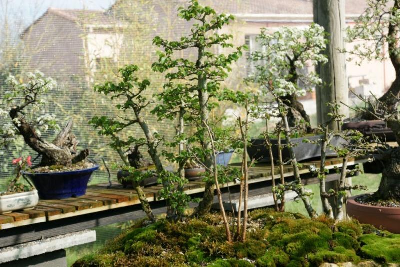 évolution d'une forêts d'ormes champêtre Dsc08416