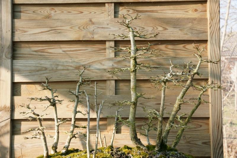 évolution d'une forêts d'ormes champêtre Dsc09510