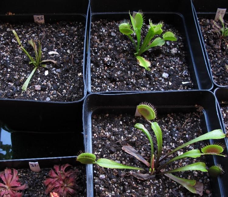 Dionaea avec les extremité des feuilles qui noircissent Dionae10