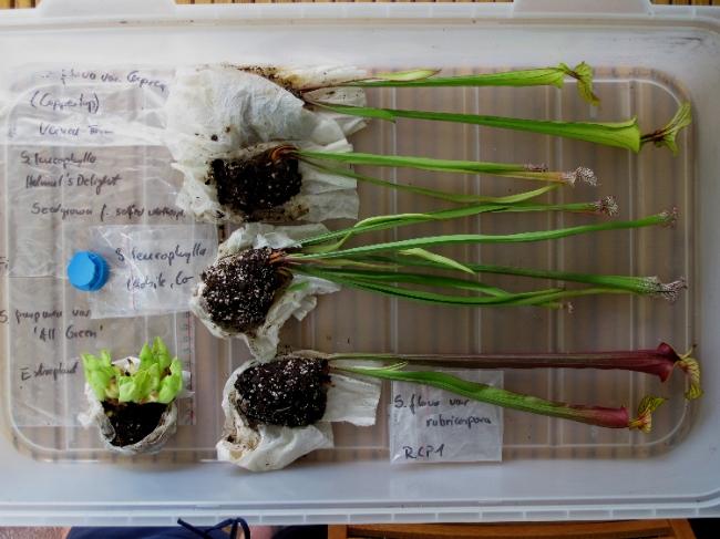 Mes Sarracenia fraîchement arrivées de chez C. Klein Img_0211