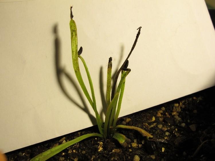 Dionaea avec les extremité des feuilles qui noircissent Img_0212