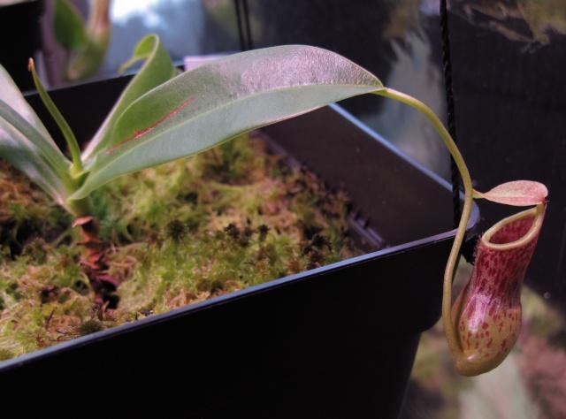 Construction terrarium lowland pour Nepenthes N_burk10