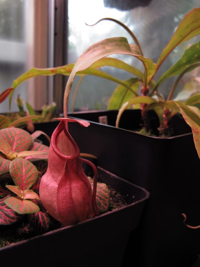 Construction terrarium lowland pour Nepenthes N_glob10