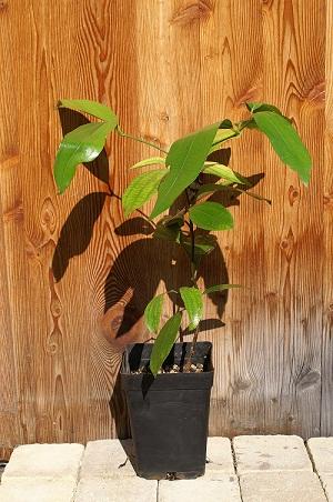 Semis de Cinnamomum verum Cinnam10