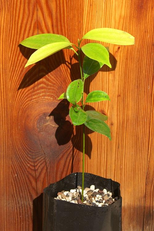 Semis de Cinnamomum verum Cinnam11