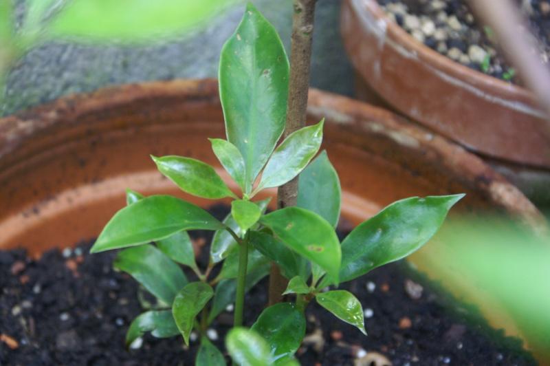 [Illiciaceae] Illicium verum, anis etoilé quelle region?!!! Illici17
