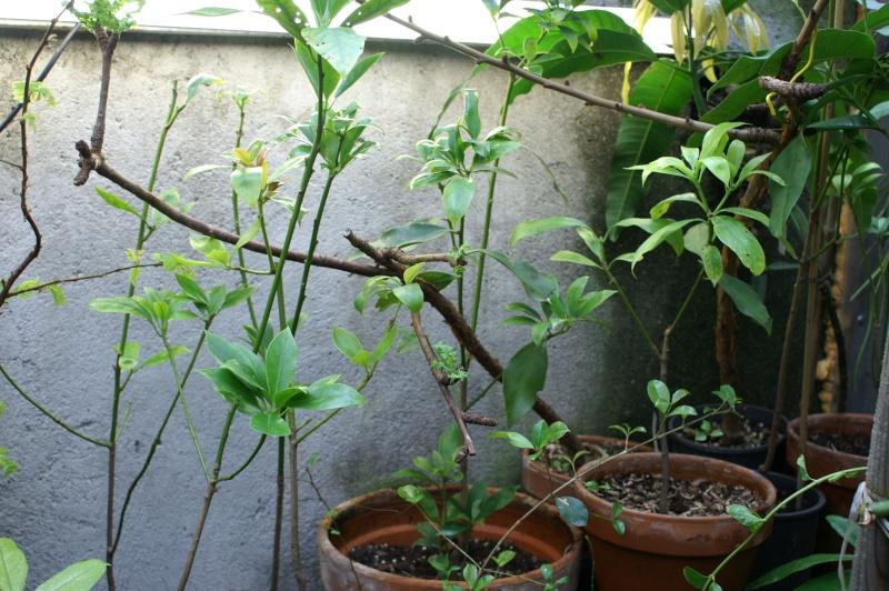 [Illiciaceae] Illicium verum, anis etoilé quelle region?!!! Illici18