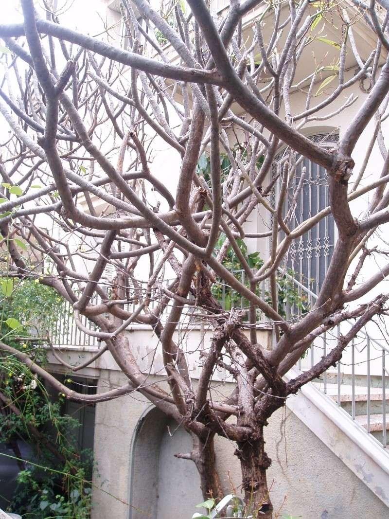 Plumeria de Crète P1010010