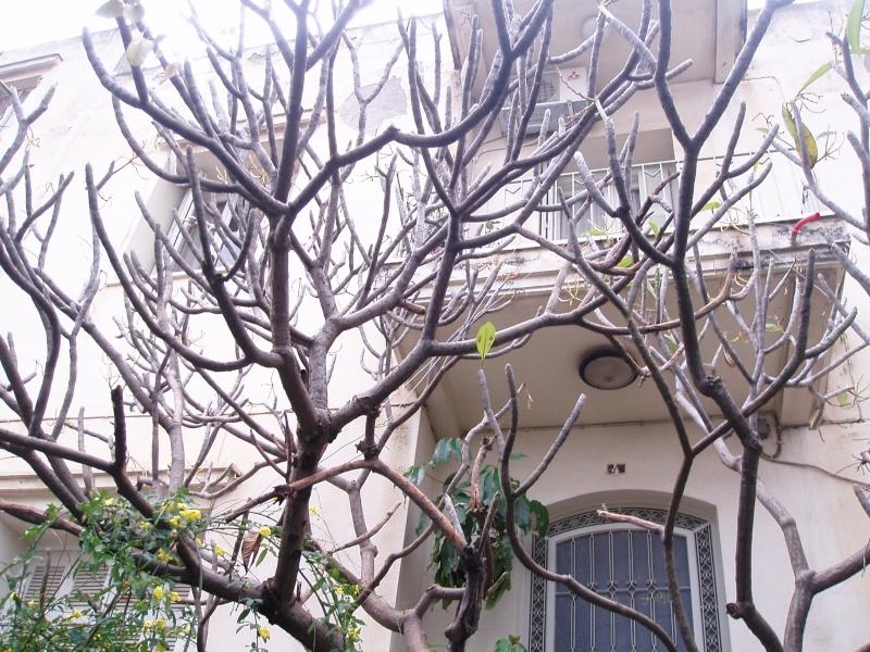 Plumeria de Crète P1010012