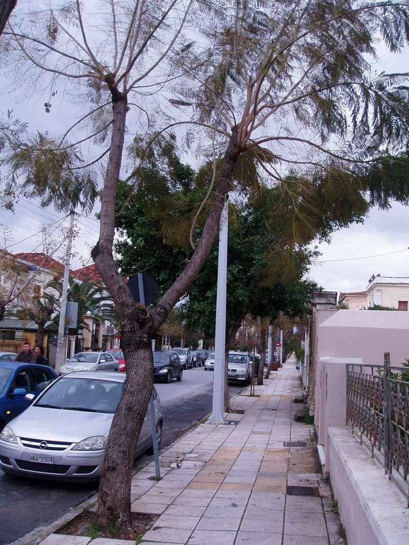 Jacaranda en Crète P1010019
