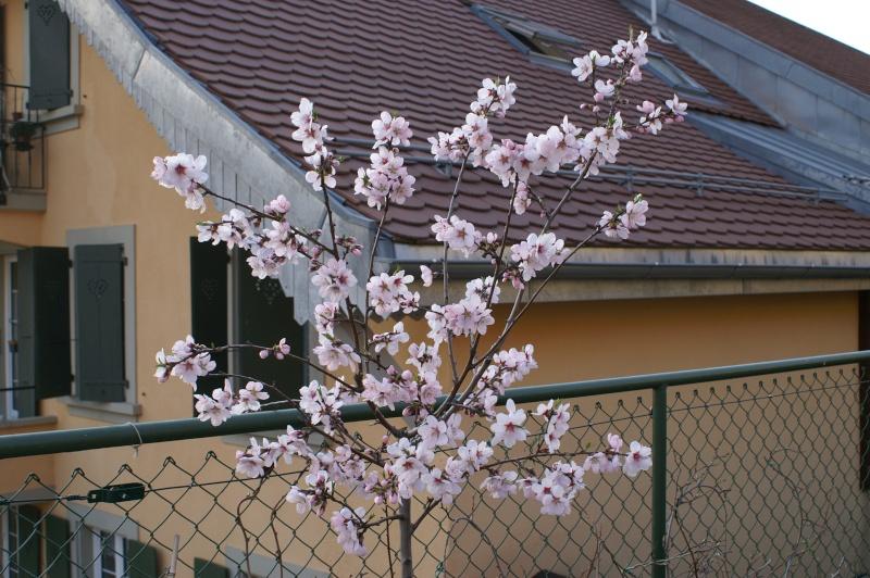 Amandiers en fleurs Pict5514