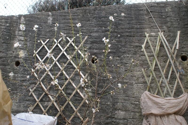 Amandiers en fleurs Pict5515