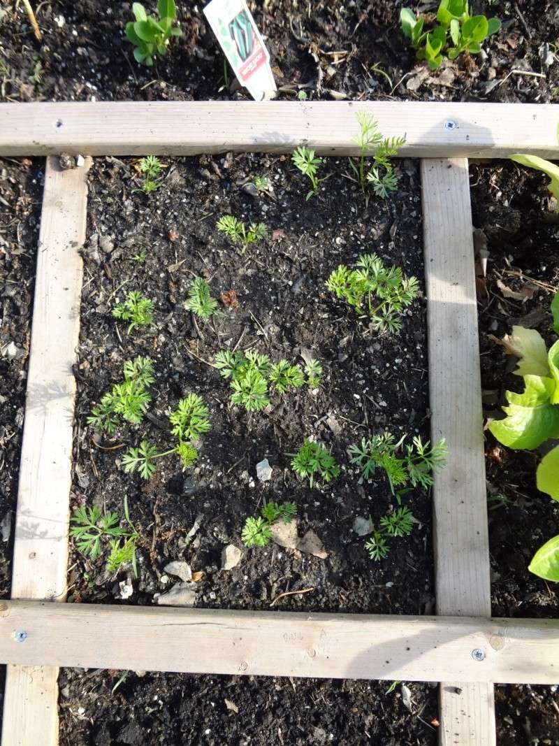 garden pics Carrot10