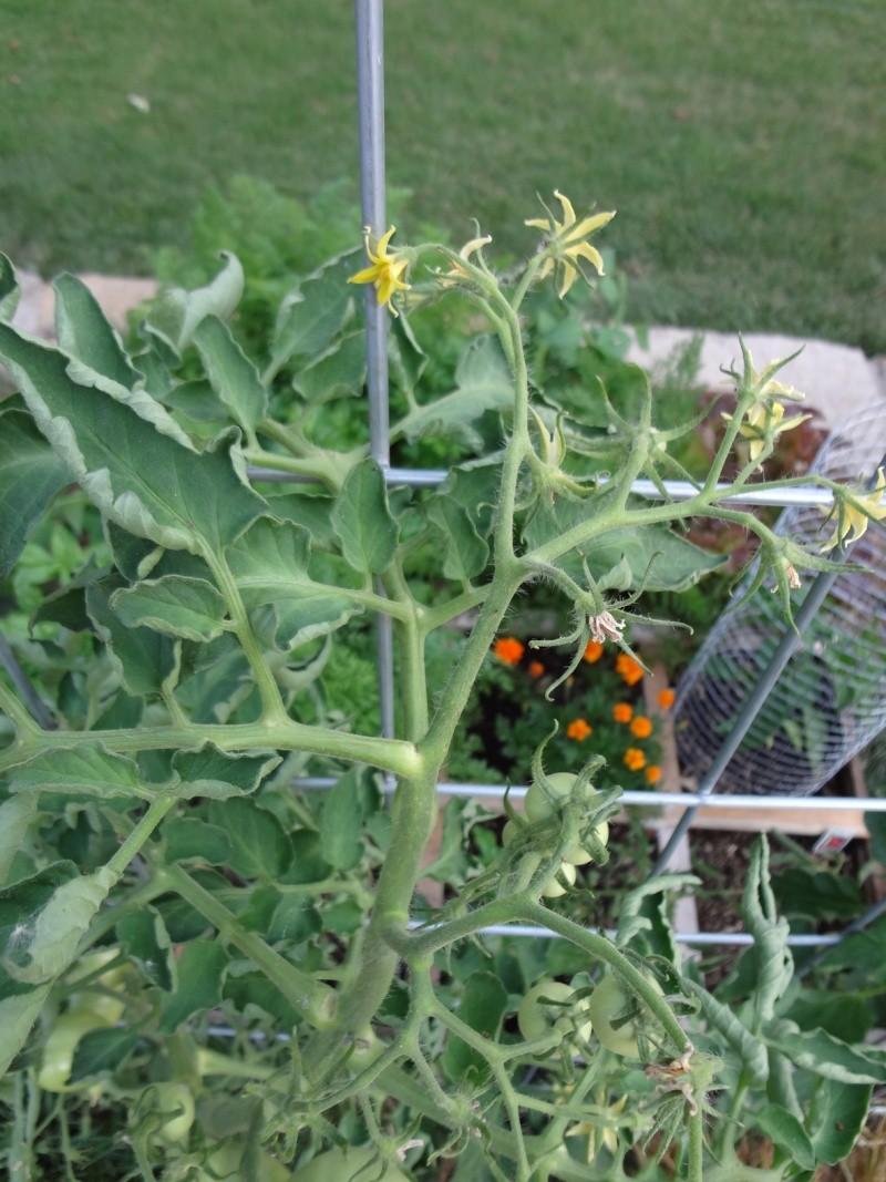 Dean-End Tomato Plant Dead_e10