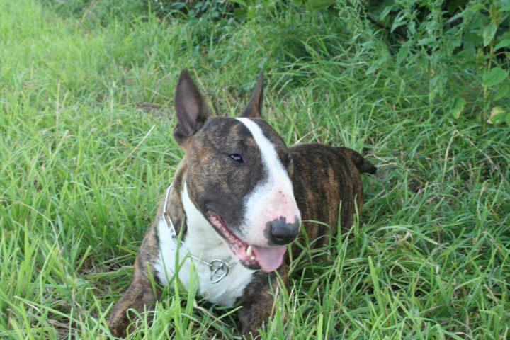 Bull Terrier malade cherche famille. 56299410