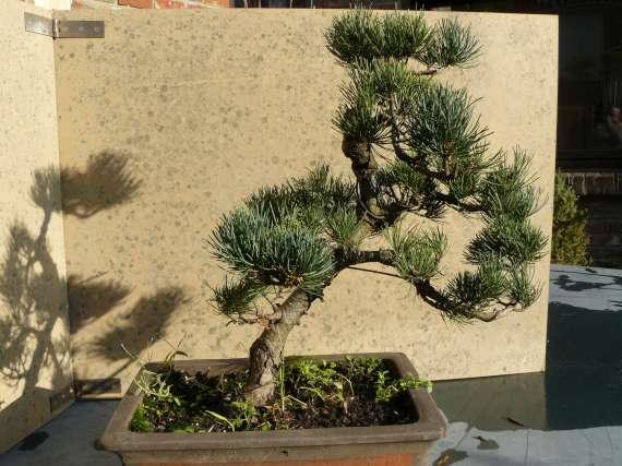Pinus Parviflora P1120113