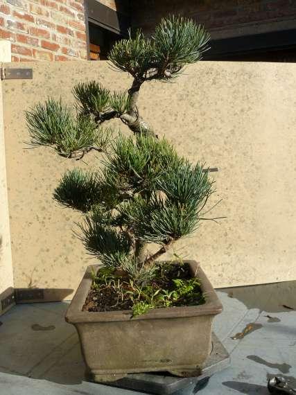 Pinus Parviflora P1120114