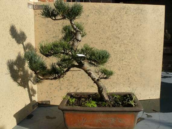 Pinus Parviflora P1120116
