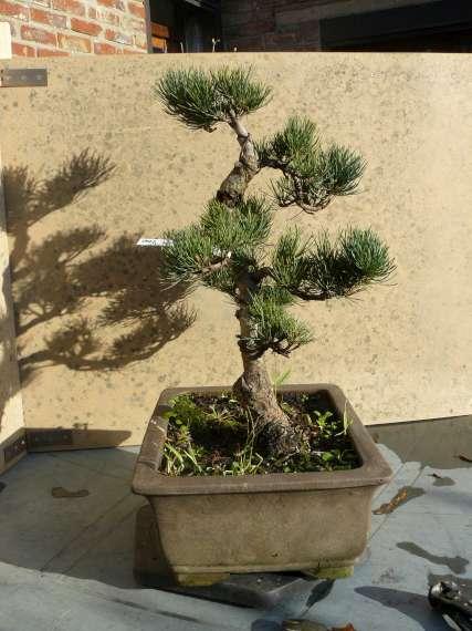 Pinus Parviflora P1120117