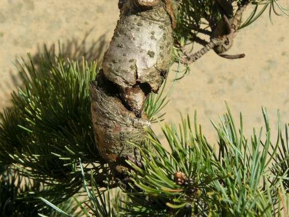 Pinus Parviflora P1120118