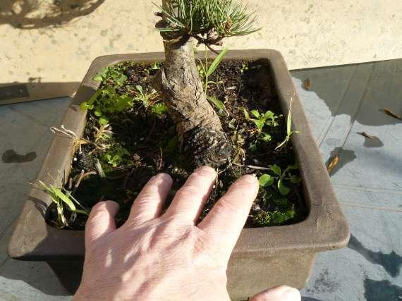 Pinus Parviflora P1120119