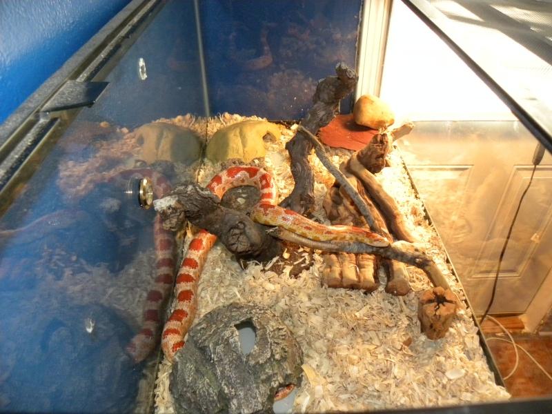 Creamcycle Corn Snake Dscn1112
