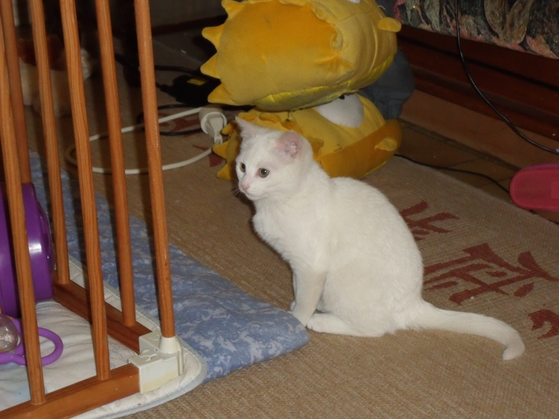 Halma, chatonne de 2 mois environ adoptée  par LAETITIA (85) Dscf0810