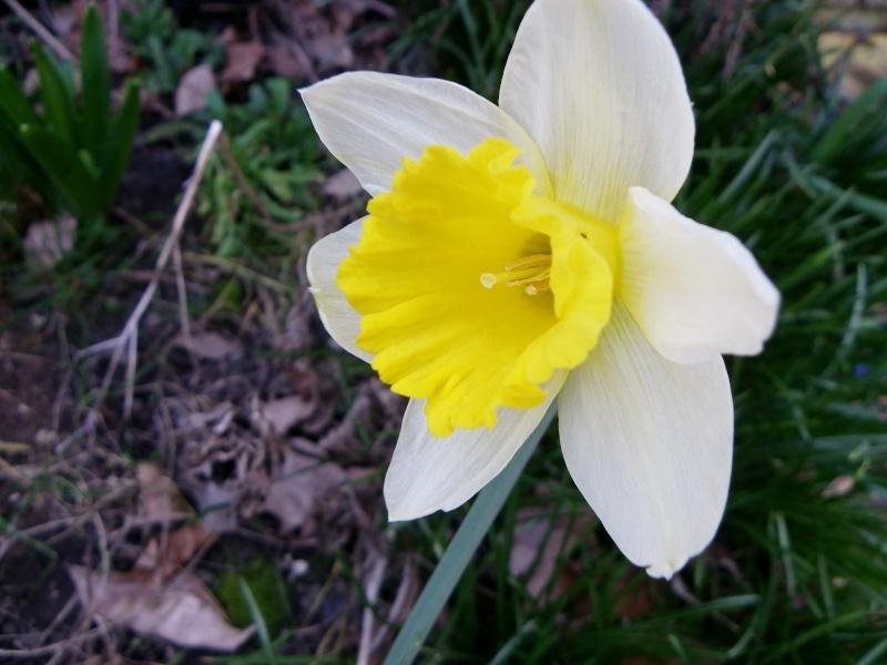 Narcissus - les narcisses Imgp0010